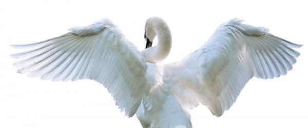 swan-1122024