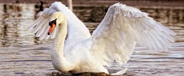 swan-839598_1280